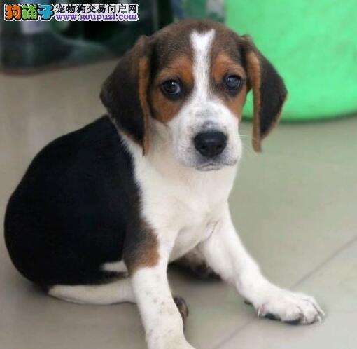 郑州自家狗场繁殖直销比格犬幼犬品质一流三包终身协议