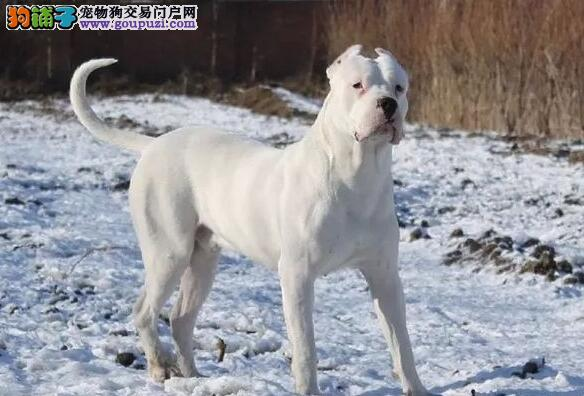 大型专业培育杜高犬幼犬包健康国际血统证书