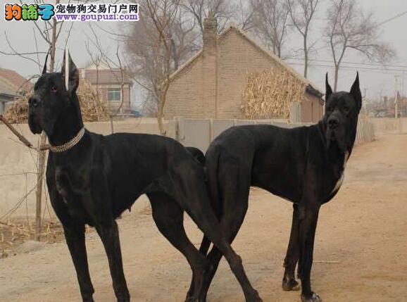 出售多种颜色纯种大丹犬幼犬微信看狗真实照片包纯