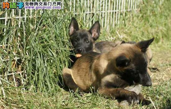 马犬成都最大的正规犬舍完美售后狗贩子请勿扰