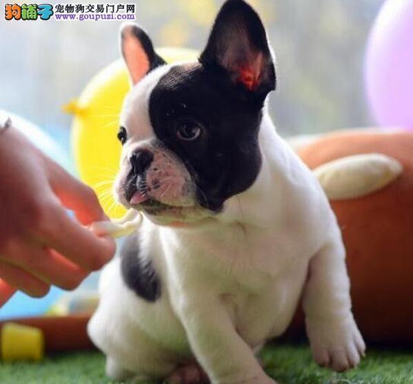 法国斗牛犬最大的正规犬舍完美售后欢迎实地挑选