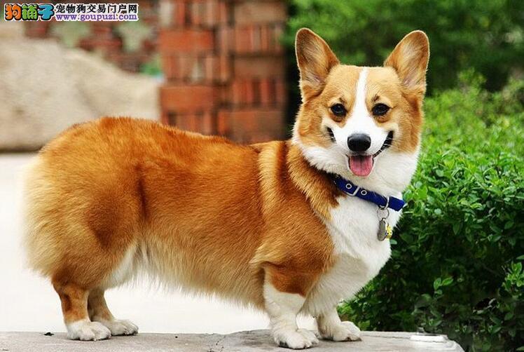 徐州出售纯种顶级柯基犬短粗腿 三色柯基 两色柯基
