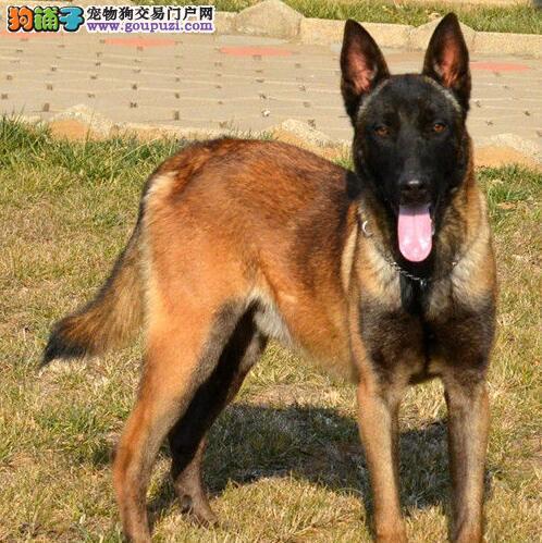 呼和浩特纯种马犬名犬后代KU认证血统 保纯保健康 可签协议