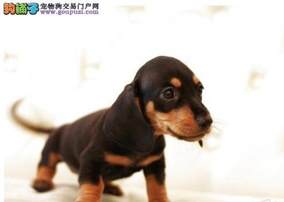 纯种健康的腊肠幼犬出售中品质 信誉 有保障