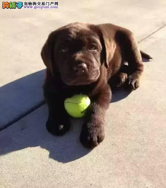 """""""神犬""""拉布拉多,世界上最聪明的导盲犬 美国引进"""