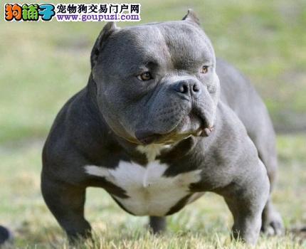 呼和浩特CKU认证犬舍出售高品质美国恶霸犬CKU认证绝对信誉保障
