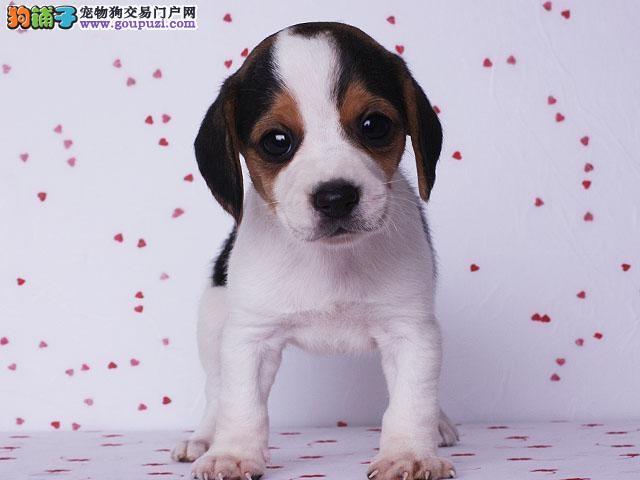 精品纯种郑州比格犬出售质量三包均有三证保障