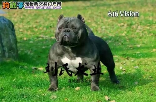 国际注册犬业 刘氏犬业 出售极品美国恶霸犬