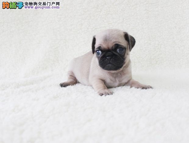 出售可爱的巴哥幼犬保健康纯种