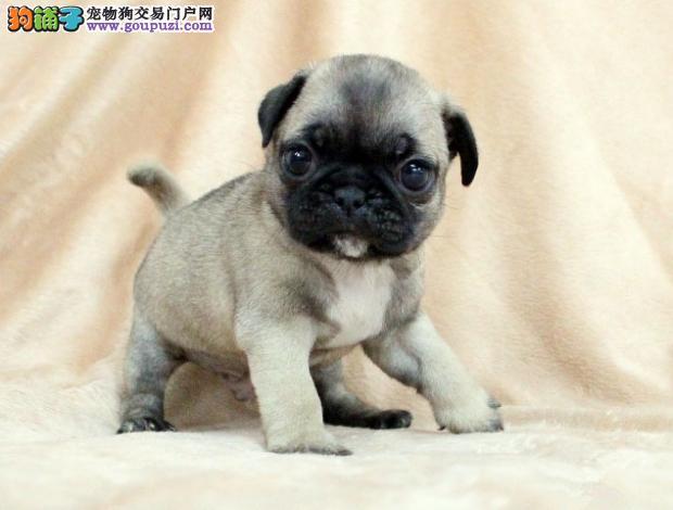 聪明可爱的高品质巴哥犬,健康血统有保障,拉风出售