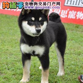 热销多只优秀的郑州纯种柴犬幼犬优惠出售中狗贩子勿扰