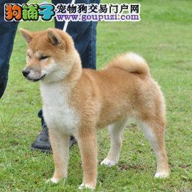 国际注册犬舍 出售极品赛级柴犬幼犬办理血统证书