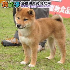 出售高品质柴犬 可看狗狗父母照片 微信咨询看狗