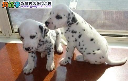 精品赛级斑点狗 公母都有纯种健康 绝对信誉保证