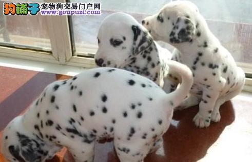 出售聪明伶俐斑点狗品相极佳质量三包多窝可选