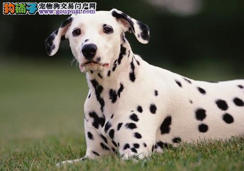 大型专业培育斑点狗幼犬包健康一分价钱一分货
