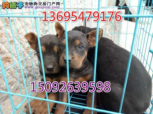 莱州红幼犬价格多少钱一只