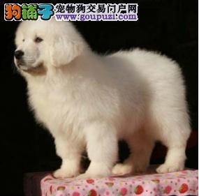 济宁自家狗场繁殖直销大白熊幼犬喜欢微信咨询