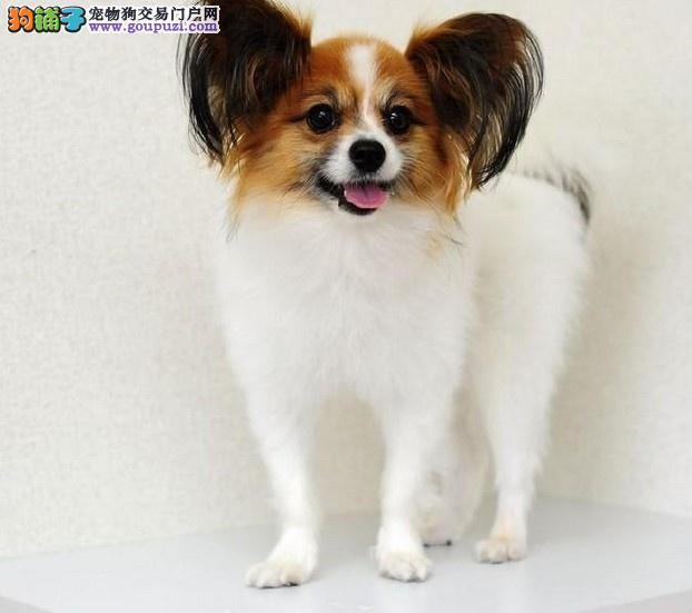 出售纯种高品质蝴蝶犬、蝴蝶幼犬 血统纯正 可来看狗狗