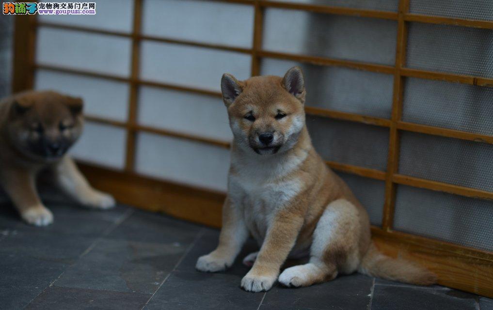 柴犬渭南最大的正规犬舍完美售后办理血统证书