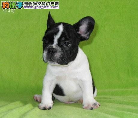 CKU认证犬舍 专业出售极品 法国斗牛犬幼犬包售后包退换