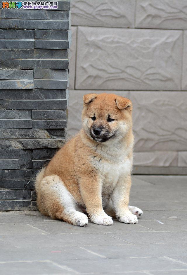 保定自家繁殖柴犬出售公母都有价格低廉品质高