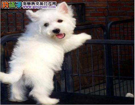 精心繁殖纯种健康赛级西高地幼犬聪明活泼可爱