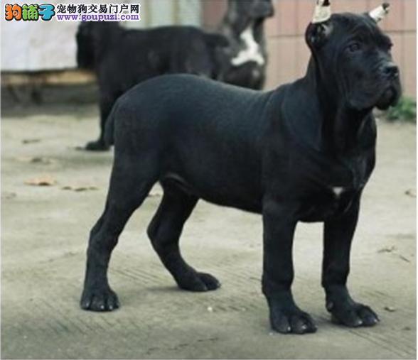 诚信卖狗  专业繁殖卡斯罗犬 检查健康后再抱走签协