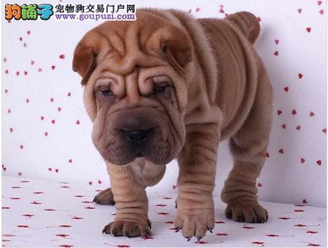 沙皮狗淄博CKU认证犬舍自繁自销均有三证保障