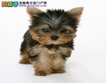 热销约克夏幼犬、真实照片保纯保质、寻找它的主人