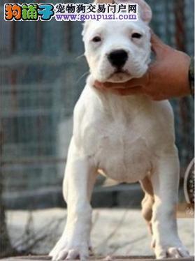 赤峰自家繁殖的纯种杜高犬找主人签订三包合同