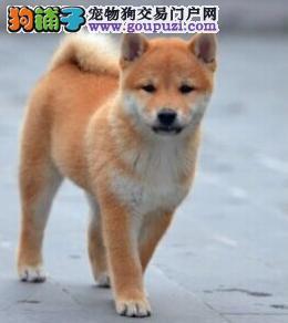 赛级品相郑州柴犬幼犬低价出售品相一流疫苗齐全