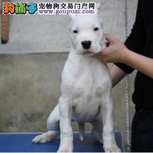 长春知名犬舍出售多只赛级杜高犬品质一流三包终身协议