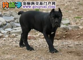 纯种卡斯罗幼犬 重头版大骨量 成为您身边的黑色勇士