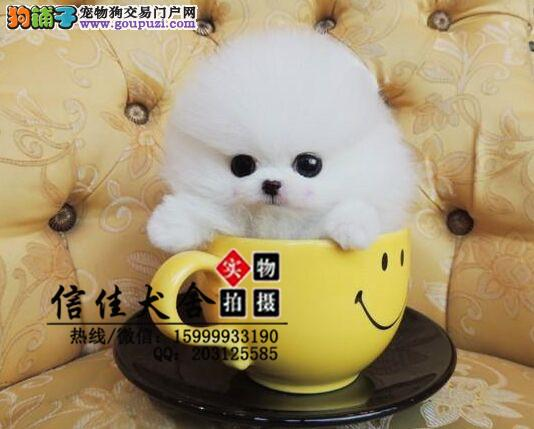 超可爱、顶级纯种哈多利博美幼犬、娇小体型、品质一流