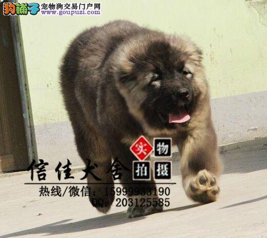 猛犬高加索繁殖基地 优质纯种 大骨架熊版 高加索