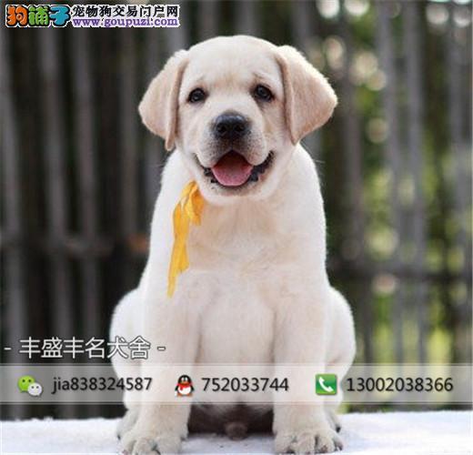 高端繁殖 纯种拉布拉多导盲幼犬 公母均有 疫苗齐全
