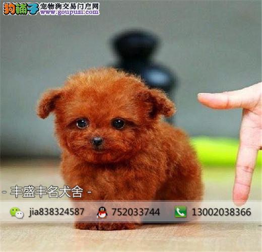 纯种茶杯约克夏 泰迪 博美幼犬 终身质保 质量三包