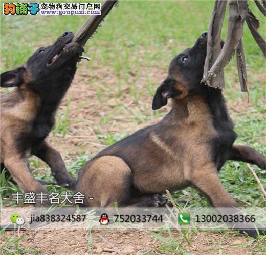 正规犬舍 常年繁殖比利时马犬,健康有保障,签协议质保