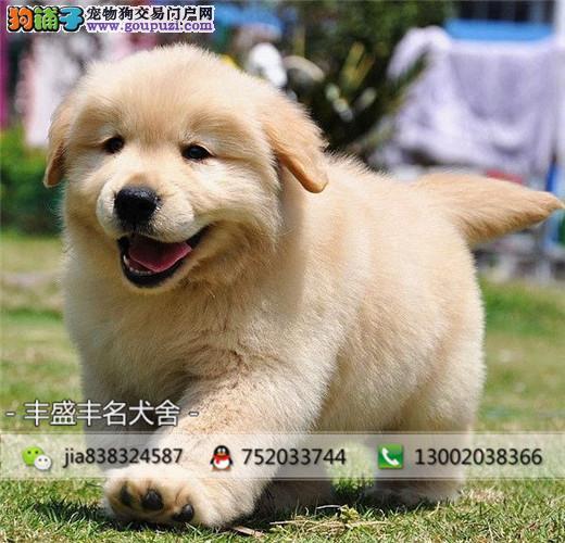 宽嘴大头黄金猎犬金毛、毛色均匀、公母均有、品相到位