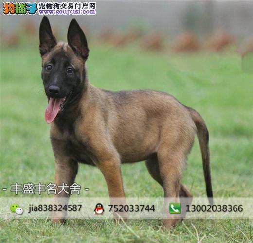 正规犬舍 常年繁殖马犬健康有保障 签协议
