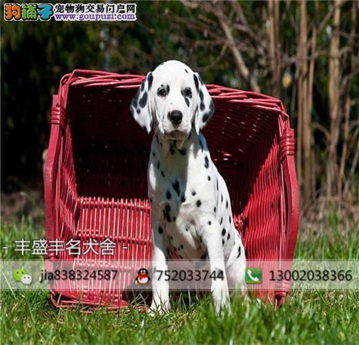 纯种纯血统斑点犬,欢迎实地选购 完美售后,可签协议