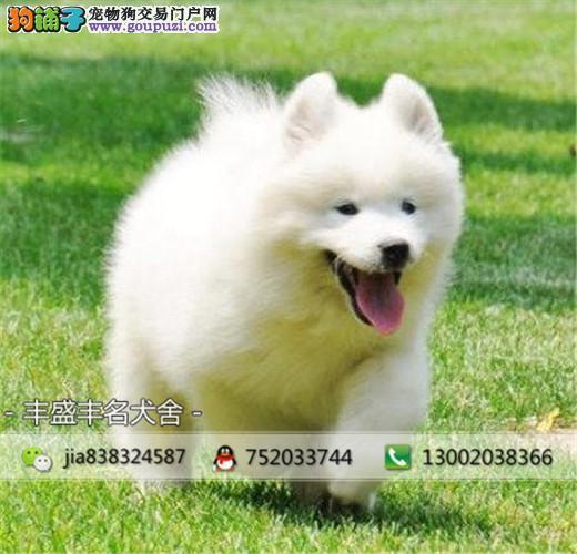 澳版萨摩耶幼犬,骨量大,健康质保,可签协议