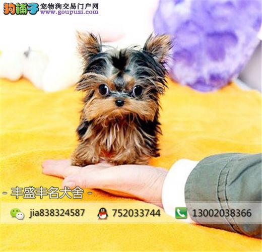 纯正茶杯玩具型,贵宾,约克夏宠物狗,售后质保