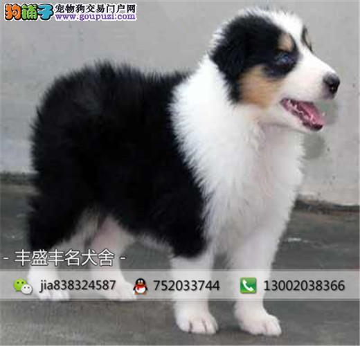 苏牧幼犬、保纯种、保健康、签订协议、终身质保