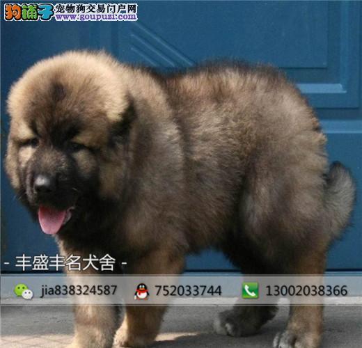 熊版巨型高加索幼犬,可签订纯正,活体协议