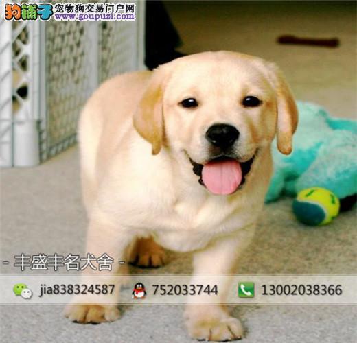 专业繁殖 宠物级拉布拉多犬 赛级拉布拉多 支持送货