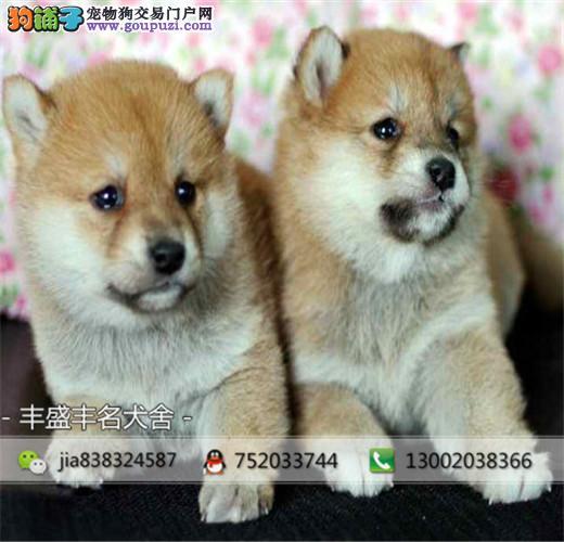 纯种日本柴犬出售,顶级日系柴犬幼犬犬舍繁殖 保健康