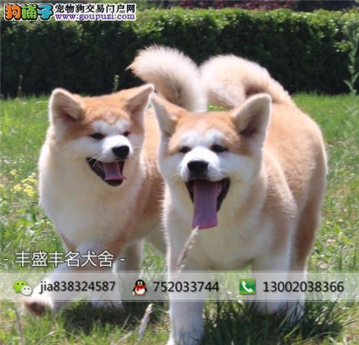 高品质日系秋田犬,赛级品质 签订协议质保