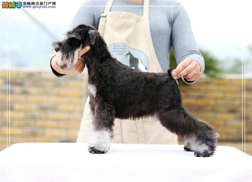 转让长胡子像小老头一样的桂林雪纳瑞幼犬 请放心选购